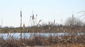 Ξηρά χλόη ελών Ώριμο ξηρό cattail στη λίμνη απόθεμα βίντεο