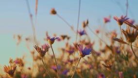 Ξηρά χλόη με το μπλε ουρανό Agains λουλουδιών απόθεμα βίντεο