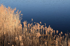 Ξηρά χλόη στη λίμνη Στοκ Εικόνες