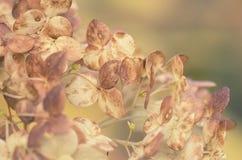 Ξηρά hydrangeas κήπων λουλουδιών Στοκ Φωτογραφία
