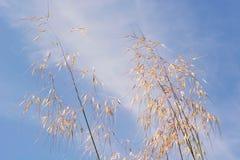 Ξηρά panicles της χλόης ενάντια σε έναν μπλε ουρανό Στοκ Φωτογραφίες