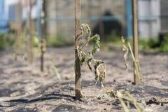 Ξηρές εγκαταστάσεις από την ξηρασία στον κήπο Ο ξηρός θάμνος μιας ντομάτας Οι εγκαταστάσεις μαράθηκαν από την έλλειψη νερού Παγκό στοκ φωτογραφία με δικαίωμα ελεύθερης χρήσης