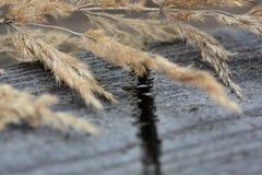 Ξηρές εγκαταστάσεις calamagrotis σε μια γκρίζα ξύλινη επιφάνεια Στοκ Εικόνες
