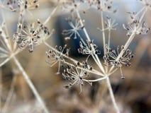ξηρές ομπρέλες άνηθου με τους σπόρους του μαράθου στο autamn Στοκ εικόνα με δικαίωμα ελεύθερης χρήσης