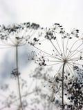 Ξηρές ομπρέλες άνηθου με τους σπόρους του μαράθου το φθινόπωρο Στοκ φωτογραφία με δικαίωμα ελεύθερης χρήσης
