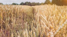 Ξηρές χρυσές ακίδες σίτου που αρχειοθετούνται την ηλιόλουστη ημέρα έτοιμη για τη συγκομιδή πριν από το φθινόπωρο Στοκ Φωτογραφία