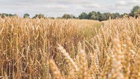 Ξηρές χρυσές ακίδες σίτου που αρχειοθετούνται την ηλιόλουστη ημέρα έτοιμη για τη συγκομιδή πριν από το φθινόπωρο Στοκ Εικόνες