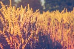 Ξηρές χρυσές ακίδες σίτου την ηλιόλουστη ημέρα έτοιμη για τη συγκομιδή Στοκ Εικόνες