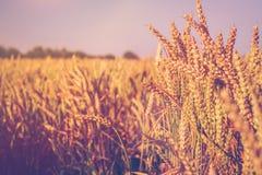 Ξηρές χρυσές ακίδες σίτου την ηλιόλουστη ημέρα έτοιμη για τη συγκομιδή Στοκ Φωτογραφίες