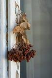 Ξηραμμένος με αέρα ashberry σε ένα παράθυρο στοκ εικόνες