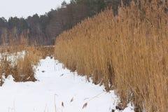 ξηροί κάλαμοι Δασικό χιόνι Στοκ Εικόνες