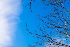 Ξηροί κλάδοι και μπλε ουρανός Στοκ Φωτογραφία