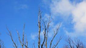Ξηροί κλάδοι μιας ταλάντευσης δέντρων στον αέρα ενάντια σε έναν μπλε ουρανό απόθεμα βίντεο