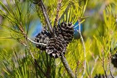 Ξηροί κώνοι πεύκων σε ένα δέντρο πεύκων στο άγριο δάσος Στοκ εικόνες με δικαίωμα ελεύθερης χρήσης