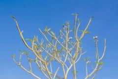 Ξηροί κλάδοι Plumeria Στοκ φωτογραφίες με δικαίωμα ελεύθερης χρήσης
