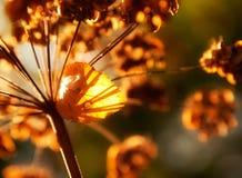 Ξηροί μίσχοι των άγριων λουλουδιών φθινοπώρου στο φως του ήλιου Στοκ εικόνα με δικαίωμα ελεύθερης χρήσης