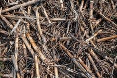 Ξηροί σπάδικες καλαμποκιού στο υγρό έδαφος στοκ φωτογραφία