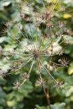 Ξηρός άνηθος ομπρελών (Anethum graveolens) Στοκ εικόνες με δικαίωμα ελεύθερης χρήσης