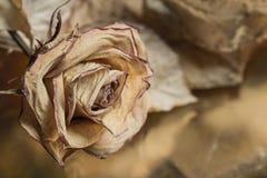 Ξηρός αυξήθηκε με τα φύλλα Στοκ Φωτογραφία