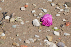 Ξηρός αυξήθηκε στην παραλία Στοκ Φωτογραφίες