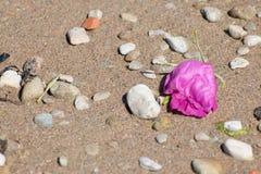 Ξηρός αυξήθηκε στην παραλία Στοκ εικόνες με δικαίωμα ελεύθερης χρήσης
