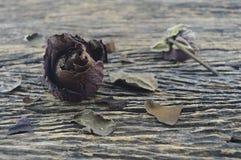Ξηρός αυξήθηκε στον παλαιό ξύλινο πίνακα, σπασμένη έννοια καρδιών Στοκ Εικόνα