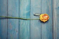 Ξηρός κίτρινος αυξήθηκε στο μπλε backgroud Στοκ Φωτογραφία