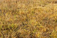 Ξηρός κίτρινος στενός επάνω χλόης Στοκ φωτογραφία με δικαίωμα ελεύθερης χρήσης