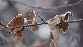 Ξηρός και παγωμένος γυμνός κλάδος φύλλων του δέντρου στην κρύα χειμερινή ημέρα, στατικός πυροβολισμός φιλμ μικρού μήκους