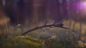 Ξηρός κλάδος στο δάσος στο πράσινο βρύο στην κίνηση φιλμ μικρού μήκους