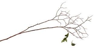 Ξηρός κλαδίσκος με δύο παλαιά φύλλα στοκ εικόνα με δικαίωμα ελεύθερης χρήσης