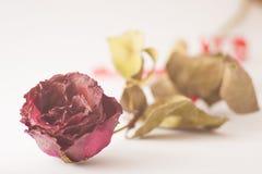 Ξηρός κόκκινος ρόδινος αυξήθηκε στο άσπρο υπόβαθρο Στοκ Φωτογραφία