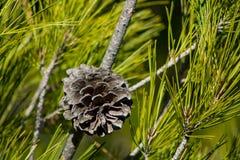 Ξηρός κώνος πεύκων σε ένα δέντρο πεύκων στις άγρια περιοχές Στοκ φωτογραφία με δικαίωμα ελεύθερης χρήσης