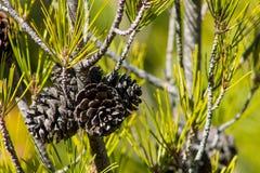Ξηρός κώνος πεύκων σε ένα δέντρο πεύκων στο πράσινο δάσος Στοκ φωτογραφία με δικαίωμα ελεύθερης χρήσης