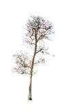 Ξηρός κλάδος δέντρων που απομονώνεται Στοκ φωτογραφίες με δικαίωμα ελεύθερης χρήσης