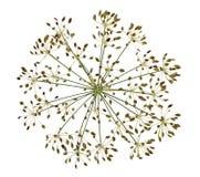 Ξηρός σπόρος λουλουδιών άνηθου Στοκ Εικόνες