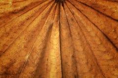 Ξηρός στενός επάνω φύλλων δέντρων πεταλούδων Στοκ εικόνες με δικαίωμα ελεύθερης χρήσης