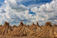 Ξηρός τομέας του καλάμου στοκ φωτογραφία με δικαίωμα ελεύθερης χρήσης