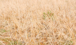ξηρό άχυρο ρυζιού στοκ φωτογραφίες
