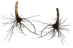 Ξηρό δέντρο ρίζας που απομονώνεται Στοκ εικόνες με δικαίωμα ελεύθερης χρήσης