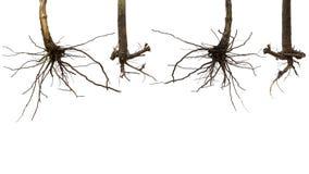 Ξηρό δέντρο ρίζας που απομονώνεται Στοκ Φωτογραφίες