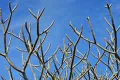 Ξηρό δέντρο frangipani ή plumeria Στοκ φωτογραφία με δικαίωμα ελεύθερης χρήσης