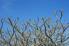 Ξηρό δέντρο frangipani ή plumeria Στοκ εικόνες με δικαίωμα ελεύθερης χρήσης