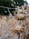 Ξηρό ακιδωτό λουλούδι Στοκ φωτογραφία με δικαίωμα ελεύθερης χρήσης