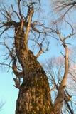 ξηρό αποβαλλόμενο δέντρο Στοκ Φωτογραφίες