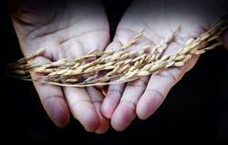 Ξηρό δέντρο ρυζιού λαβής χεριών της Farmer Στοκ Εικόνες