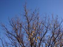 Ξηρό δέντρο στο μπλε ουρανό υποβάθρου στοκ εικόνες