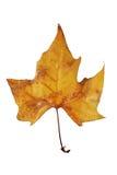 ξηρό δέντρο φύλλων φθινοπώρου Στοκ εικόνες με δικαίωμα ελεύθερης χρήσης