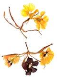 Ξηρό λεπτό eschscholzia Applique και στριμμένος κρίνος πετάλων Στοκ φωτογραφίες με δικαίωμα ελεύθερης χρήσης