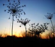 ξηρό ηλιοβασίλεμα φυτών Στοκ εικόνα με δικαίωμα ελεύθερης χρήσης
